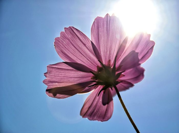 Low Angle View Of Pink Cosmos Flower Against Clear Sky