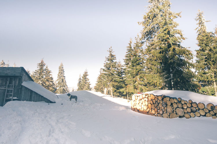 Architecture Beauty In Nature Building Exterior Built Structure Cold Temperature Coniferous Tree Covering Day Dog Field Land Nature No People Outdoors Pine Tree Plant Powder Snow Scenics - Nature Sky Snow Snowcapped Mountain Tranquility Tree White Color Winter