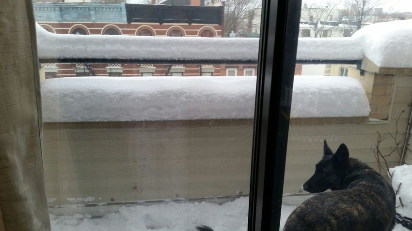 Dogs Snow Juno Brooklyn snow is bliss for my beloved pup.