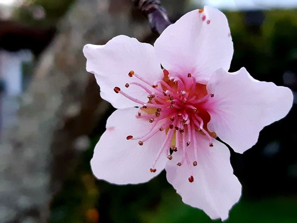 😍😀🌸I love you more, but better when the sun is down😍😀🌸 https://youtu.be/HcBFyVnf-_o Dusk In My Garden Nature Knows Best Copy Space Peach Tree Flower Petals🌸 2018 September Outdoor Photography My Spring In New Zealand Close Up Delicate Beauty Peaches🍑 Pink Springs Almost Here Peach Tree Blossoms In My Garden Fragility EyeEm Flower EyeEm Nature Lover Peaceful Evening My Peach Tree Flower Head Flower Pink Color Petal Close-up Plant In Bloom Blooming Blossom