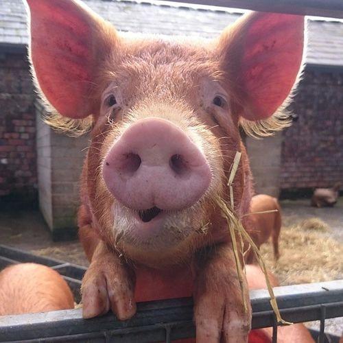 I love pigs so much! Perksofthejob Croxtethpark Homefarm Cutie Piglet Urbanfarming