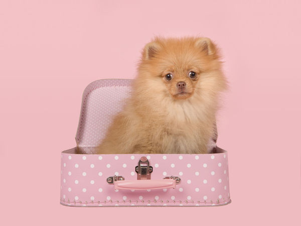 Cute mini spitz puppy dog sitting in a pink dotted suitcase on a pink background Pink Polka Dots ♥ Pomeranian Pomeranian Love Adorable Puppy Animal Canine Colored Background Cute Dog Pets Pink Background Pink Color Pomeranian Puppy Puppy Studio Shot Suitcase Young Animal
