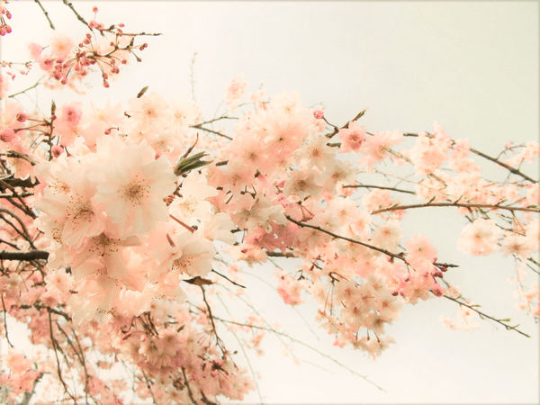 Beauty In Nature Blossom Branch Cherry Blossom Cherry Blossoms Cherry Tree Cherryblossom Close-up Day EyeEm Nature Lover Flower Flower Head Fragility Freshness Growth Low Angle View Nature No People Outdoors Pink Color Sky Springtime Tree