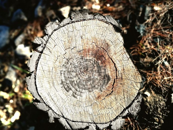 Concentric Tree Ring Close-up
