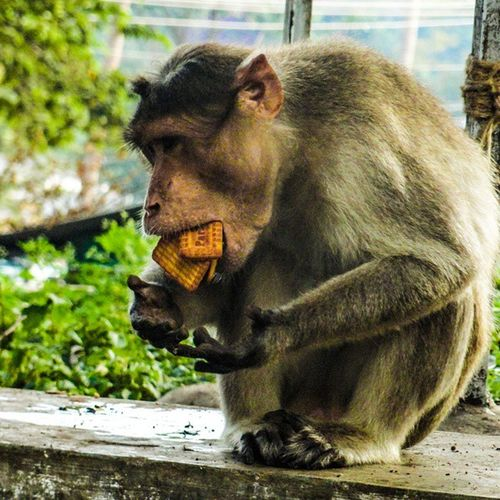 hungry monkey:p Bns_animals _oye Indiapictures Mytripdaires2015 Mysore Indiaclicks Vscoindia Bd_animal