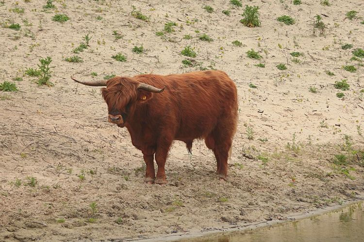 Cow Highlander Scottish Highlander Farm Ranch Beef Long Haired Cow Longhorn Bull Agriculture Sand Dune