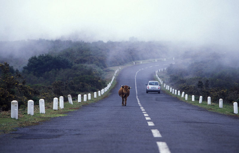 Cow walking by car on road during foggy weather