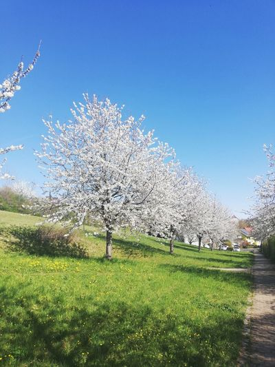 Cherry blossoms on field against clear blue sky