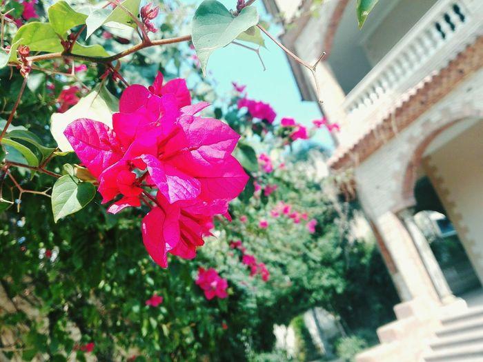 عندما تنموا الزهور في القصور 🌹😯 Farm حديقة نباتات Flower Head Flower Pink Color Petal Close-up Plant Blooming Periwinkle Plant Life In Bloom Cosmos Flower Blossom Cherry Blossom Stamen Botany Bougainvillea First Eyeem Photo