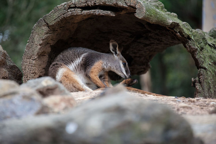 Wallaby under arch wooden log