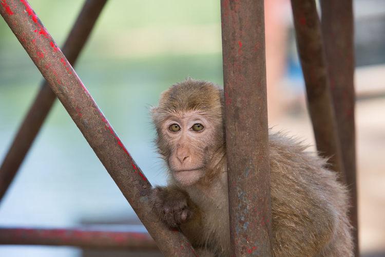 Portrait Of Monkey Sitting On Metallic Rod