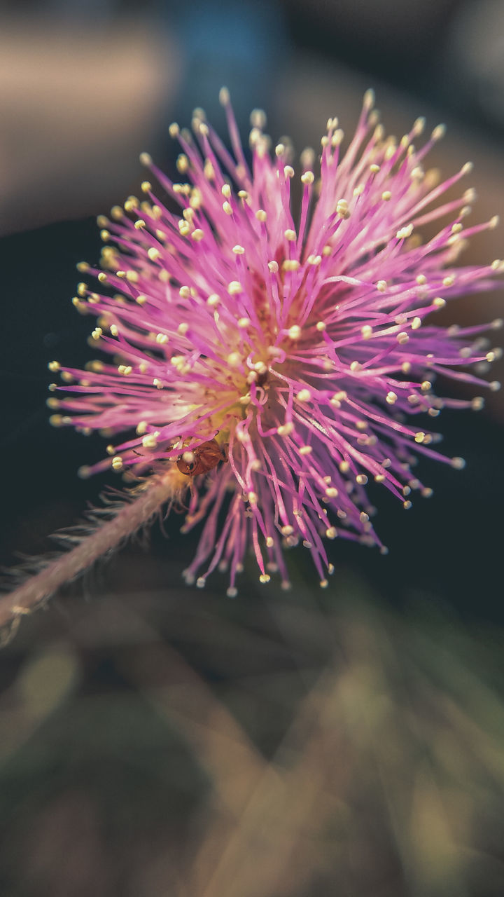 CLOSE-UP OF PINK FLOWER ON PLANT