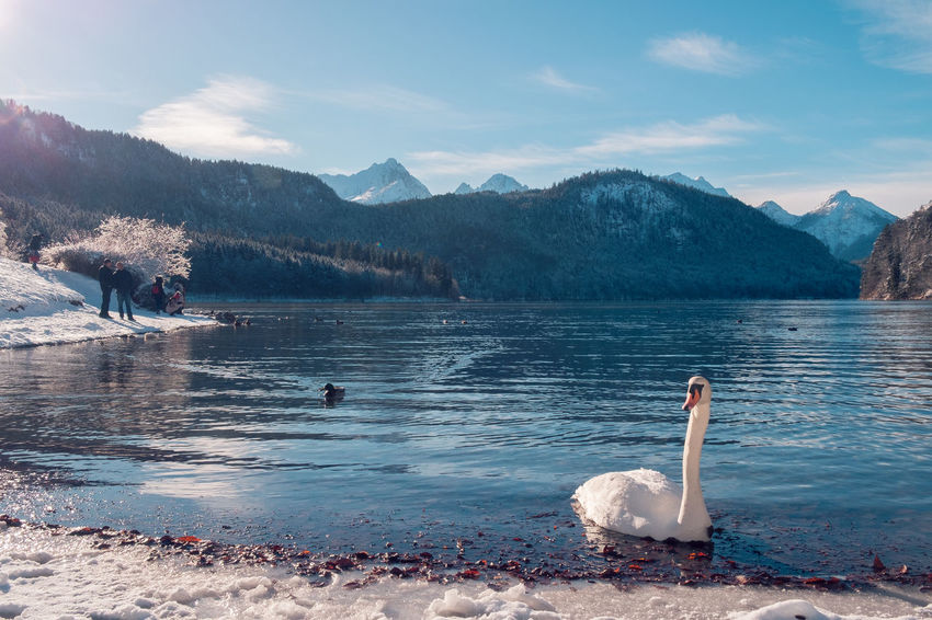 Alpsee Bavaria Swan Lake Swans Animal Themes Animal Wildlife Animals In The Wild Beauty In Nature Bird Cold Temperature Day Duck Füssen Hohenschwangau Lake Mountain Nature No People Outdoors Scenics Schwangau Sky Snow Swan Swimming Tree Water Water Bird Winter