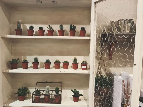 Cacti at Wolfhouse Gallery Succulent Cacti Cactus Shelf Indoors  Large Group Of Objects Variation Shelves Choice In A Row