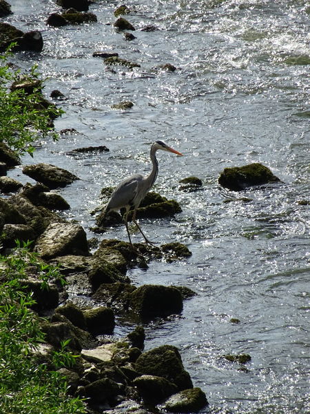 Heron Heron Fishing Animals In The Wild Water Animal Themes Bird Animal Wildlife Nature No People One Animal Outdoors Reiher Reiher Im Wasser Fischender Reiher Bird Photography Beauty In Nature Mannheimgram Mannheim ❤ Monnem BACH Riviere Creek Creekside Romantic Mannheimisbeautiful