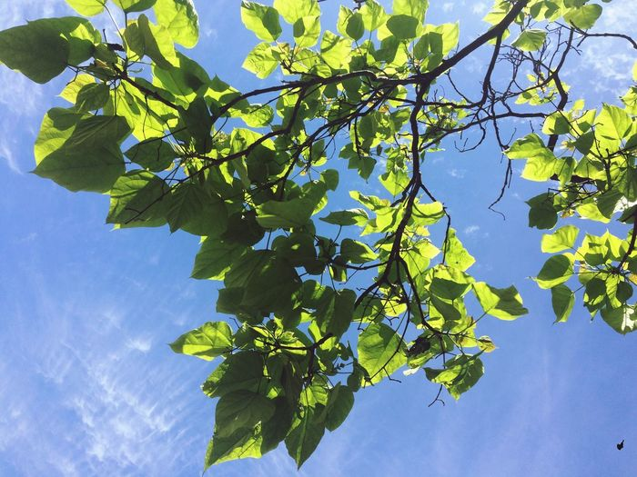 Leaf Branch Tree Low Angle View Growth Sky Close-up Blue Beauty In Nature Day Cloud Freshness Flower Leaves Scenics Green Fragility Green Color Outdoors