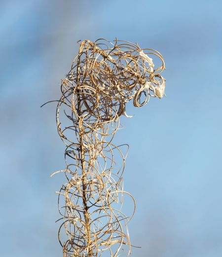 Going for curls today January Canonphotography Sun Winter Dried Plant Blue Riverside Photography Weeds Are Beautiful Too Nature_collection No People Close-up Day Sky