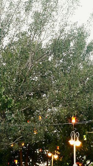 Tree Lights Yellow Green Agac Agaclar Isik Yeşil Doğa Nature