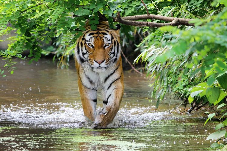 Alertness Animal Head  Animal Markings Animal Themes Beauty In Nature Close-up Day Focus On Foreground Grass Green Color Growth Mammal Nature No People Outdoors Plant Portrait Tiger Tiger-love Tigereyes