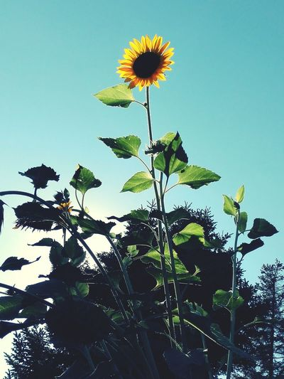 Nature Taking Photos Hello World Enjoying Life Blue Sky Sunflower Colour Of Life Outdoors No People Mobilephotography