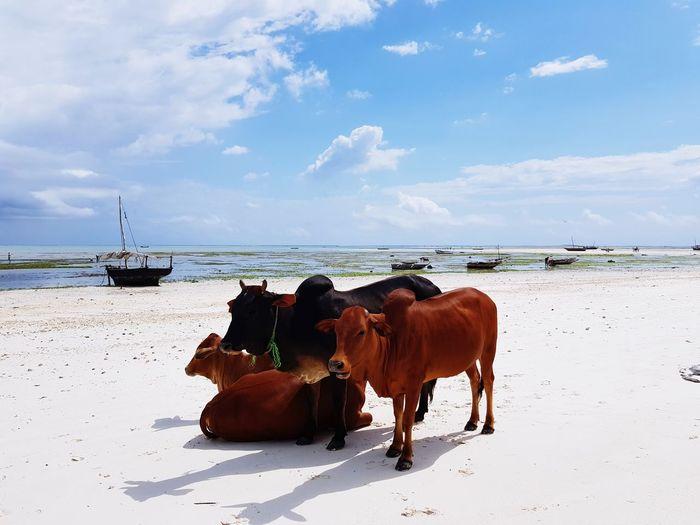 Zanzibar Beauty Cow Zanzibar Tanzania Indian Ocean Oceano Marea Sea Beach Sand Full Length Horse Sky Horizon Over Water Cloud - Sky Two Animals Calm Group Of Animals Farm Animal First Eyeem Photo