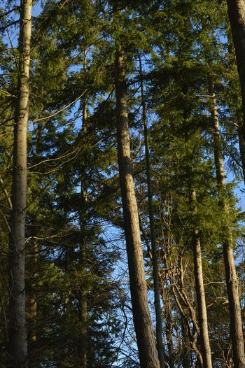 Tree PNW Tall Trees Green Clear Sky Leafy Beauty In Nature Outside No People Outdoors Growth Forest Nature Tranquility