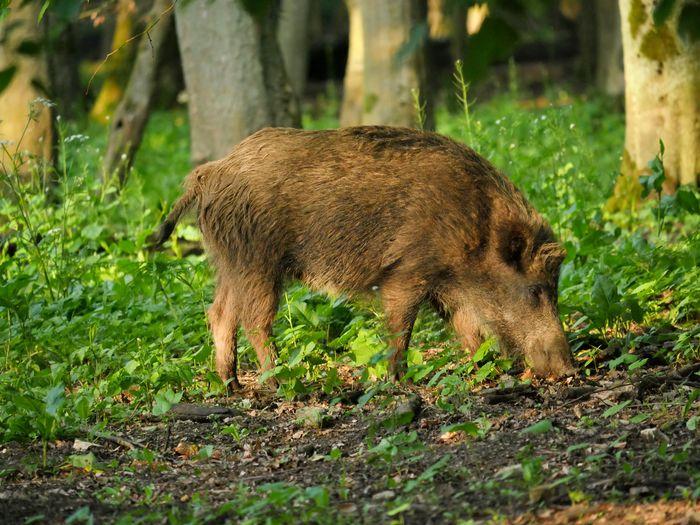 Wild boar Boar