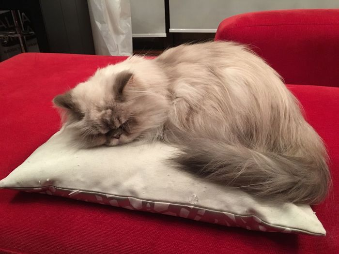 Cat Pillow Cat Persian Grey Sleep Gato Persa Almohadon Dormir Sueño