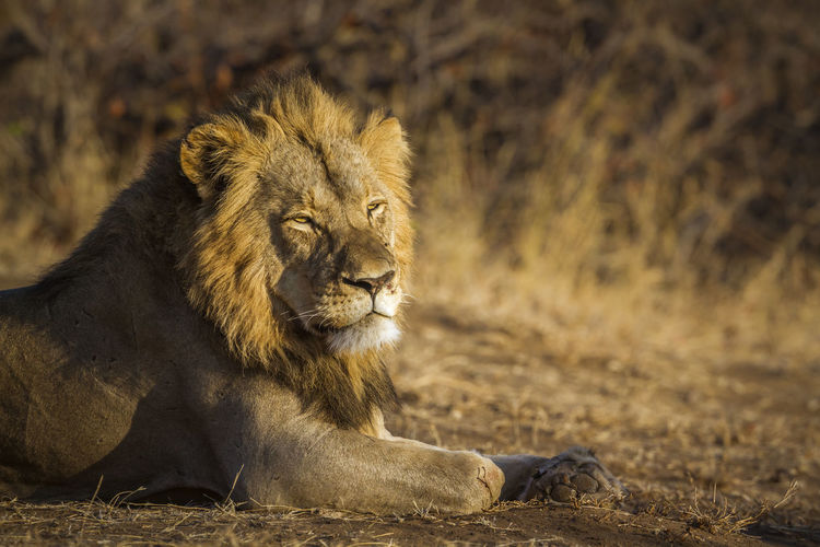 Lion sitting on land in forest