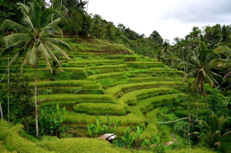 The terraced rice fields in Tegallalang, Bali Tegallalang Rice Field Terrace Farming Agriculture Rural Bali INDONESIA Backpacking Scenic Landscape