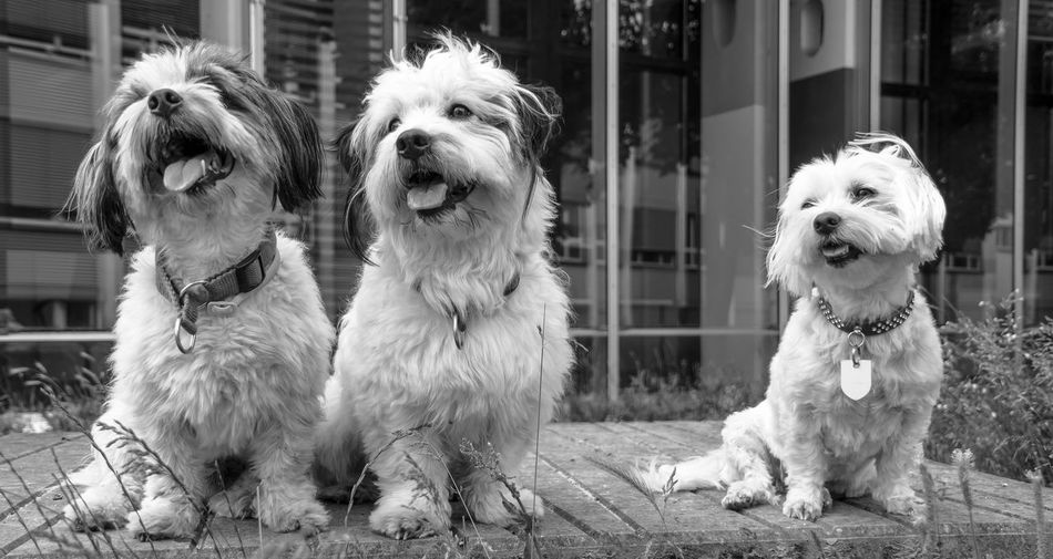 Looking At Camera Maltese Dog Animal Themes Close-up Day Dog Domestic Animals Friendship Havanese Havaneser Maltese Malteser Mammal Nature No People Outdoors Pets Portrait Three Animals Three Dogs Togetherness Pet Portraits Black And White Friday