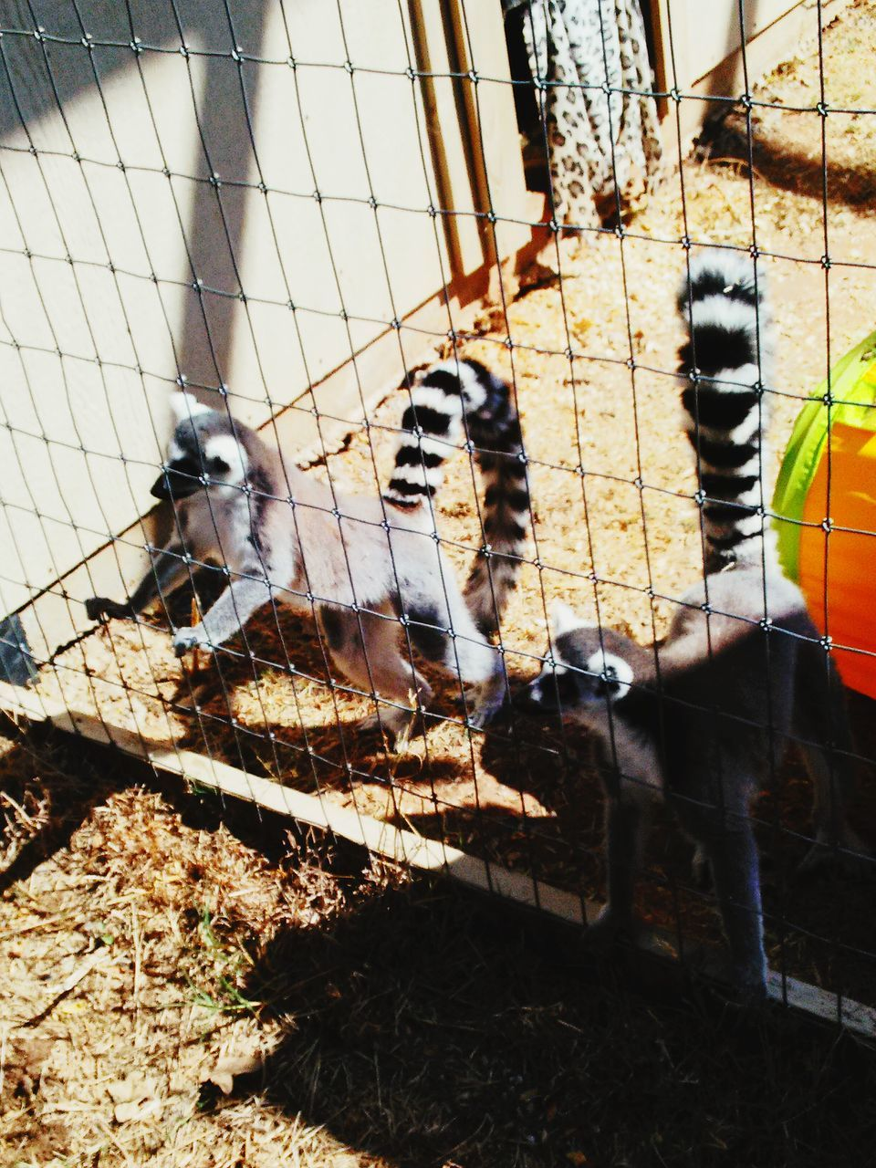 animal themes, mammal, domestic animals, cage, animals in captivity, no people, day, animal wildlife, pets, bird, animals in the wild, large group of animals, livestock, outdoors, nature, close-up