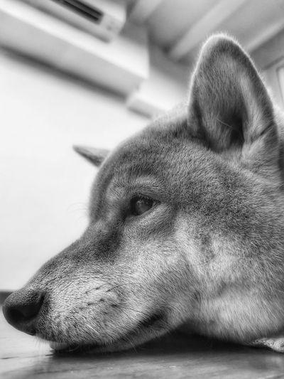 #dog#pet#shibain