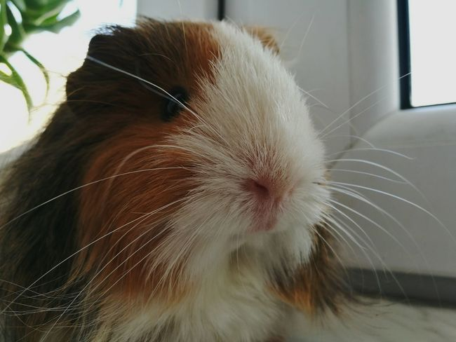 One Animal Animal Themes Pets No People Guinea Pig Euzebia Home Beauty Love Lovely Lovely Day Brown And White Glorious Moment HuaweiP9