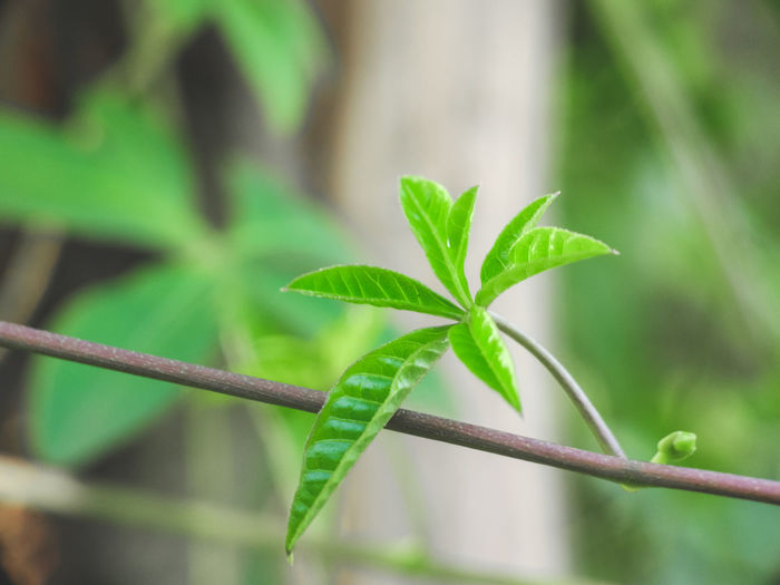 EyeEm Indonesia EyeEm Best Shots Macro Macro Photography Macro Nature Leaf Green Color Close-up Plant Focus On Foreground No People Marijuana - Herbal Cannabis Growth Freshness Nature Day Outdoors Herb Defocused Fragility Beauty In Nature