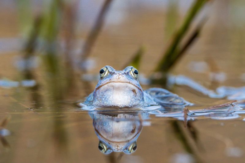 Moorfrosch Blue Moorfrosch Moor  Frog Animal Themes Animal One Animal Animal Wildlife Water Animals In The Wild Vertebrate Nature Close-up Looking At Camera