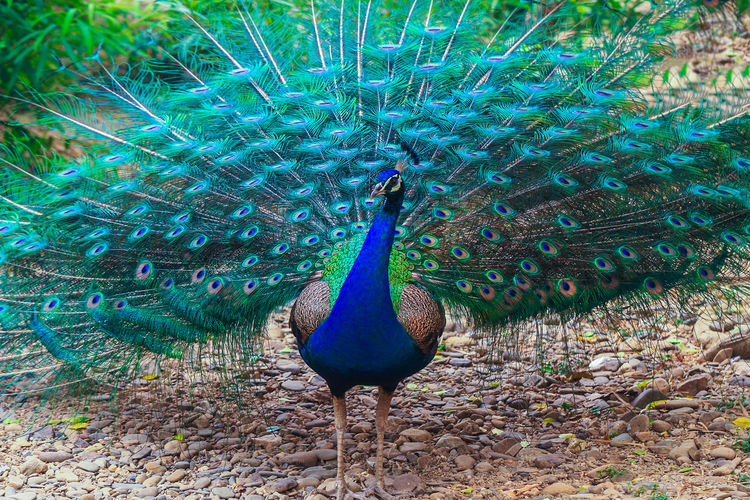peacock Peacock Bird Animal Wildlife Beauty In Nature Animal Themes Animal Animals In The Wild