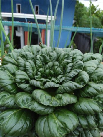 pakcoy Vegetable Freshness No People Food And Drink Green Color Healthy Eating Market
