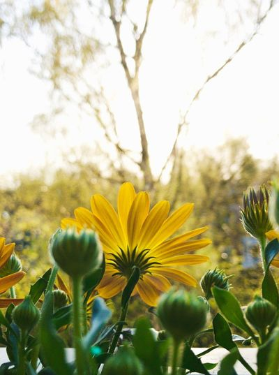 Plant Flower Flowering Plant Freshness Yellow Growth Beauty In Nature Nature Fragility Flower Head Close-up No People Petal Day Tree Springtime Sky