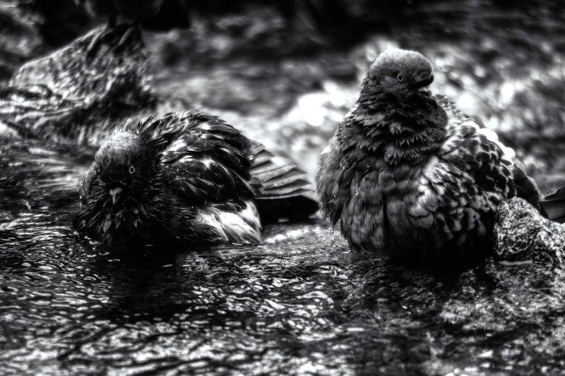 """PROJECT 'BLACKWALT' DAY 1: 'Bathe Dip Pigeons' - My NEW PROJECT, CODENAME: 'BLACKWALT'. IT' - BLACKWALT è il mio nuovo progetto per il bianco e nero, non legato ad uno standard, se non il bianco e nero in se stesso. Vi darò modo di vedere cio che fotografo, come li vedono i miei occhi e la mia fantasia in monocromo EN' - BLACKWALT is my new project for black and white, not tied to a standard, if not the black and white in himself. I will give you a way to see what that photographer, as they see my eyes and my imagination in monochrome. Samsung Smart System User 'Samsung NX10 Camera and Samsung K Mount MA9NXK' Foto and Writing by """"Maximilien Rastello Photographer © 2015"""". PROJECT BLACKWALT Torino Turin Blackandwhite Black And White Black & White Blackandwhite Photography EyeEm Best Shots - Black + White MaximilienRastello Birds"""