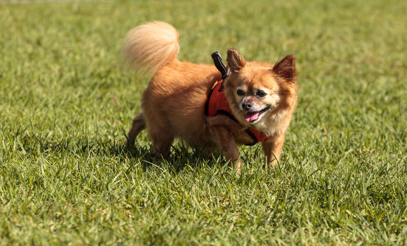 Small blond Chihuahua mixed breed dog in a harness at the dog park Dog Harness Happy Animal Themes Chihuahua Day Delicate Dog Dog Park Domestic Animals Grass Harness Mammal No People One Animal Outdoors Pets Play Puppy Small Dog Smile Tiny Dog