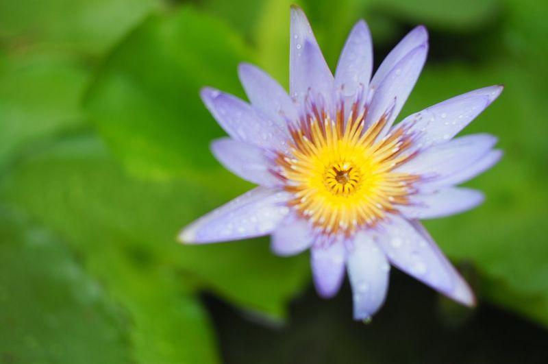 Lotus Flowering