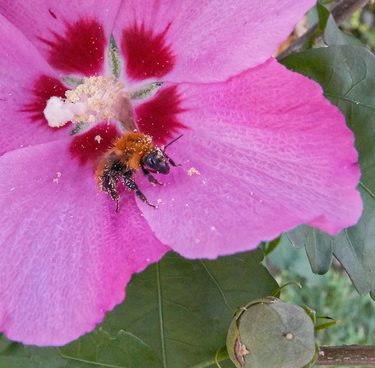 flower, flowering plant, petal, beauty in nature, pink color, plant, invertebrate, vulnerability, insect, animal themes, one animal, fragility, animals in the wild, freshness, close-up, animal wildlife, animal, flower head, growth, bee, no people, pollination, pollen, outdoors, bumblebee