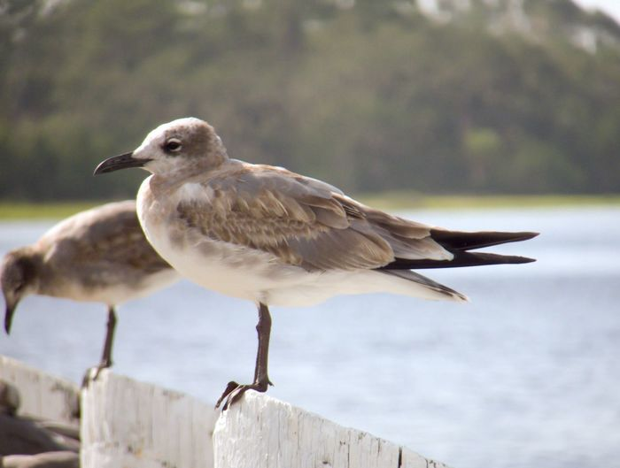 EyeEm Selects Seagull Bird Animal Wildlife Outdoors Close-up Focus On Foreground Animals In The Wild