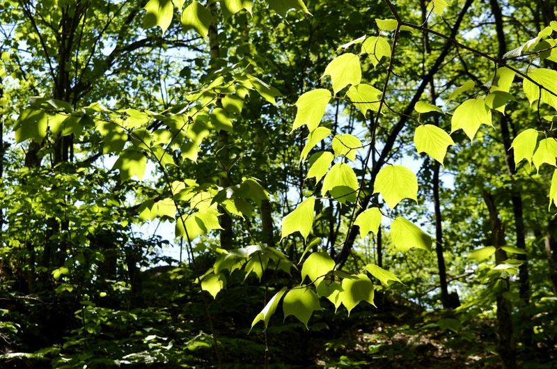 Tree Branch Yellow Leaf Forest Summer Green Color