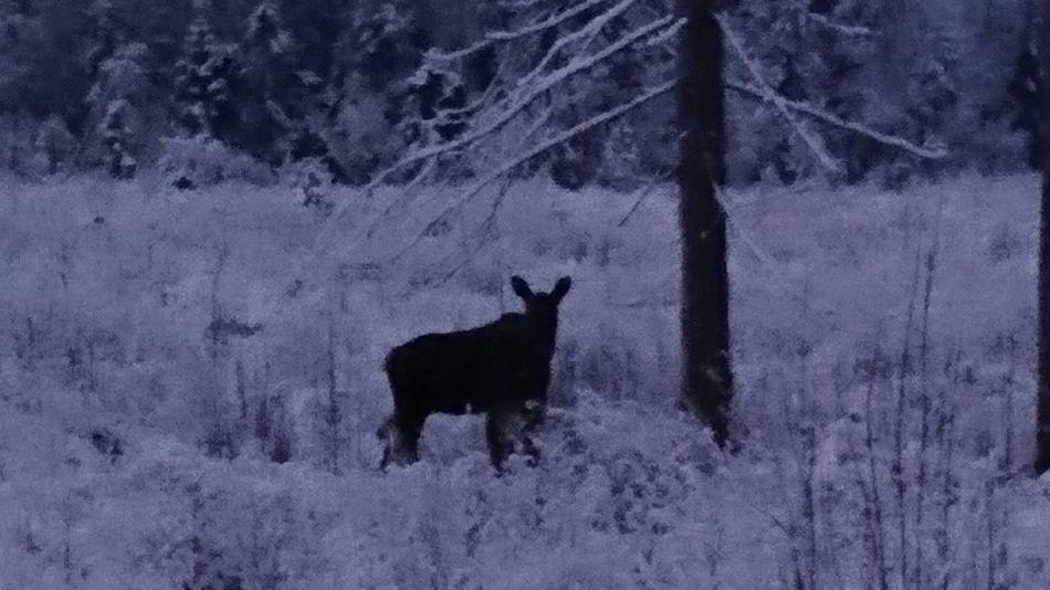 En orädd en Winter Cold Temperature Snow Animal Themes One Animal No People Sweden örnsköksvik Köpmanholmen