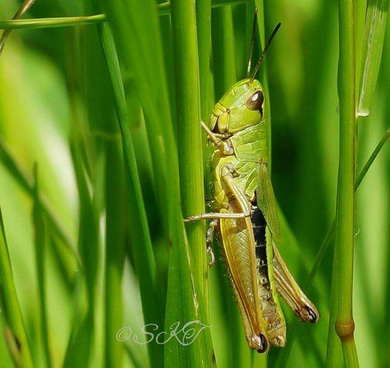 Macrophotography Macro Week Macromania Macroaddictsanonymous #insect #Grasshoper