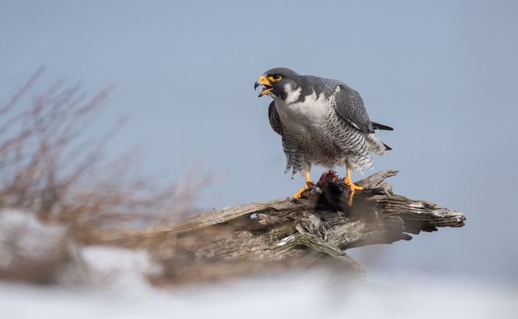 Peregrine Falcon New Jersey Palisades Interstate Park Falcon Peregrine EyeEm Selects Bird Animal Wildlife One Animal Animals In The Wild Animal Themes No People Outdoors Nature Perching Winter Bird Of Prey Sky Close-up Water