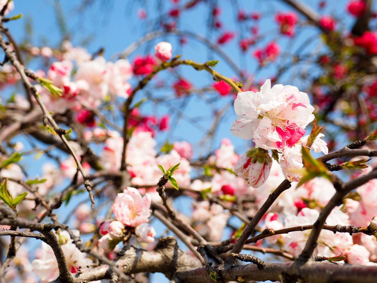 flower, fragility, growth, beauty in nature, branch, blossom, springtime, white color, tree, freshness, apple blossom, nature, petal, botany, twig, orchard, no people, apple tree, day, flower head, pink color, blooming, outdoors, plum blossom, close-up, low angle view, focus on foreground, stamen