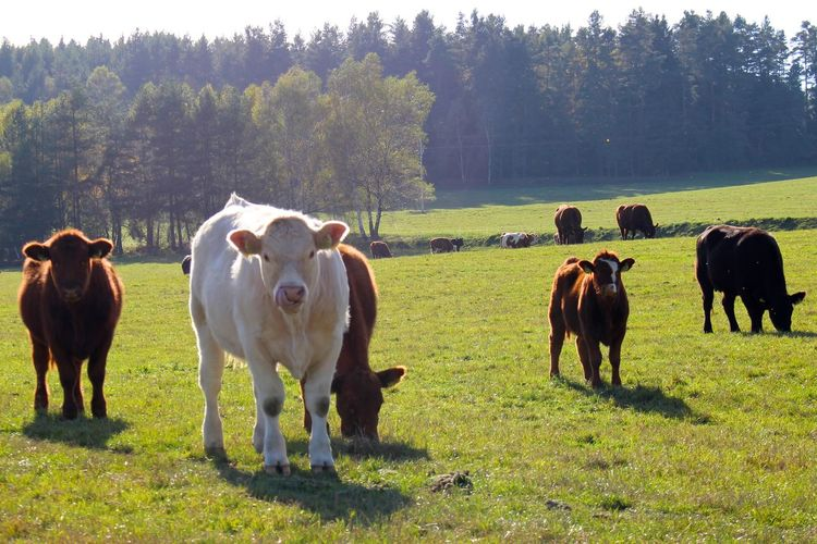 Awesome cows Animal Themes Cattle Cow Cows Field FUNNY ANIMALS Grass Grazing Herbivorous Livestock Mammal Pasture Standing Staring
